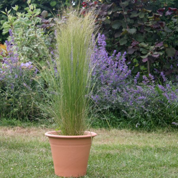 197 best images about ornamental grasses on pinterest for Ornamental grass that looks like wheat