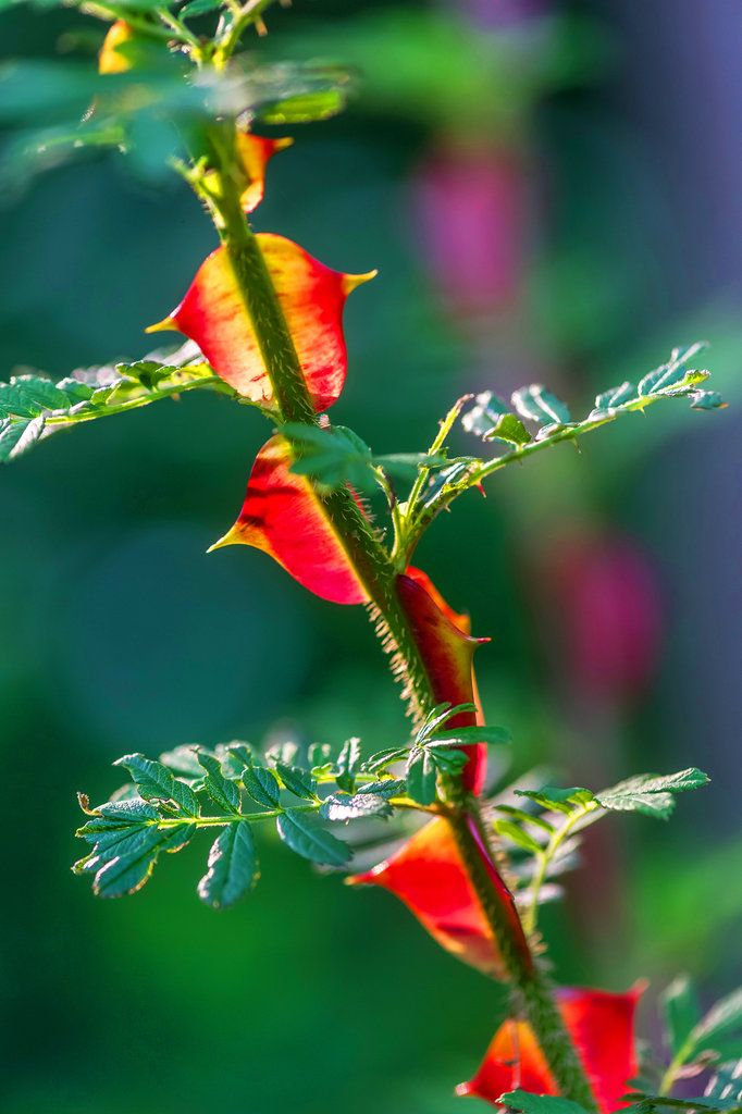 rosa sericea with red translucent thorns photo rob cardillo for the new york - New York Times Home And Garden