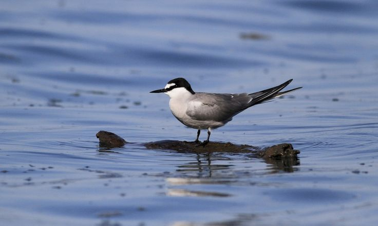 Aleutian Tern - Introduction | Birds of North America Online