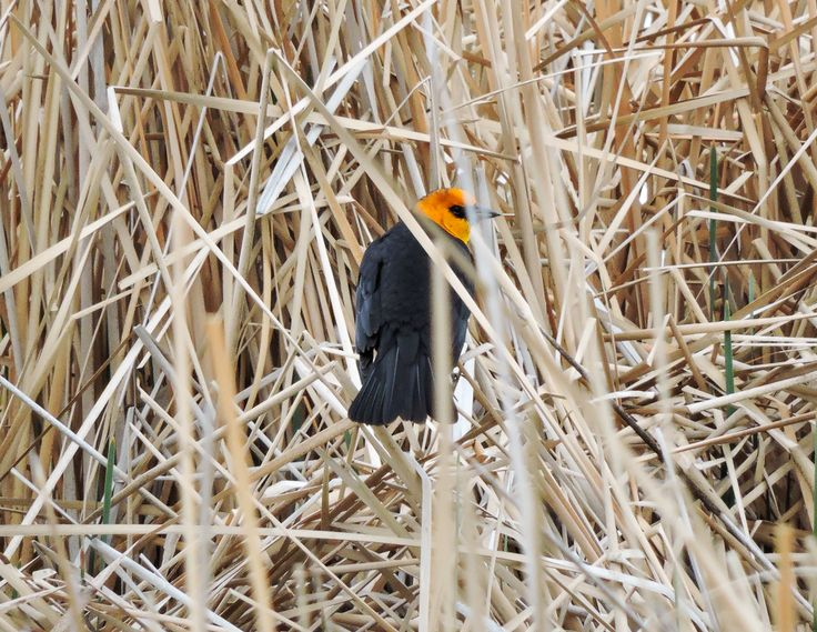 Yellow-Headed Blackbird ©Eileen Rutherford. Wild Bird Company - Boulder, CO. Saturday Morning Bird Walk at Sombrero Marsh - April 18, 2015.