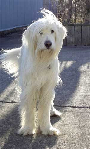 "Previous Pinner said:  ""Irish wolfhound? Never saw one white. just gorgeous.""  I imagine there is some Great Pyrenees involved?"