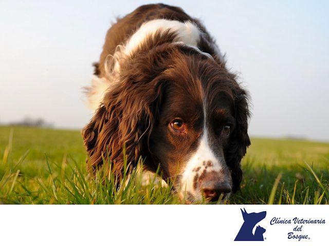 LA MEJOR VETERINARIA DE MÉXICO. Springer Spaniel Inglés, es una raza de perro de caza proveniente de Gran Bretaña, se caracteriza por un carácter alegre, dócil y activo. Cuenta con un pelaje denso, lacio y resistente, de complexión mediana. El Springer Spaniel Inglés, es un perro muy resistente e inteligente para todo tipo de actividades, requiere de ejercicio constante. En Clínica Veterinaria del bosque, contamos con una tienda equipada con accesorios básicos para tu mascota…