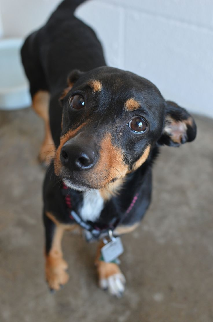 Pics photos dachshund chihuahua dog mix dogs pictures photos pics - Adopt Nelly On