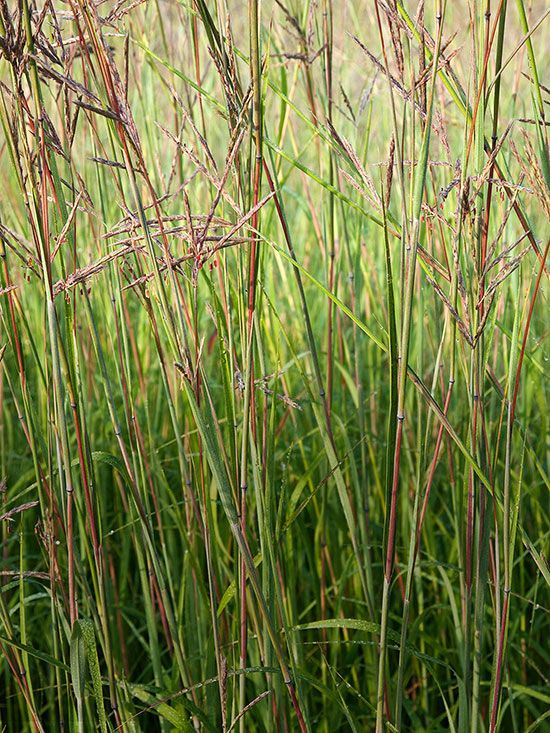 51 best images about grasses on pinterest gardens for Tall grasses for sun