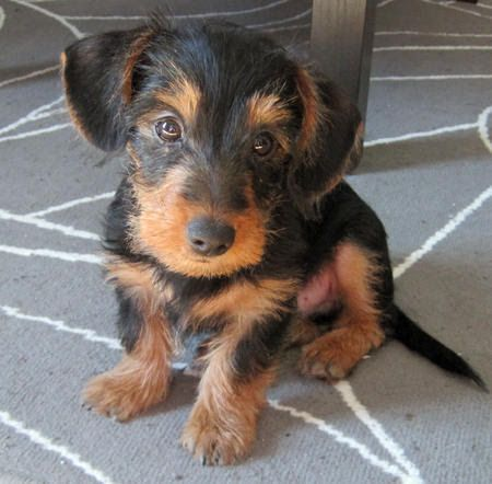 Griffon the Dachshund Mix Mixed breed dogs Pinterest