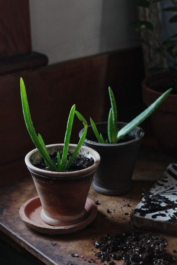 How To Replant Aloe Vera Cuttings