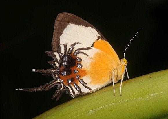 Spider-wing Cupid  Helicopis gnidus  FABRICIUS, 1787  Family - RIODINIDAE  subfamily - RIODININAE  Tribe - HELICOPINI