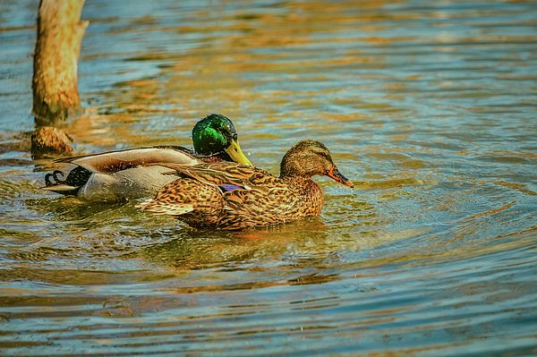 couple in love. A pair of mallard ducks swimming in the creek of city Enkoeping, Enkoping, Sweden, a spring day 2017. They seems to be preparing the summer adventures with the coming ducklings.