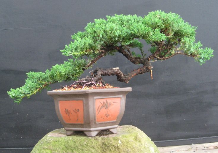 pics of juniper bonsai | Juniperus procumbens nana