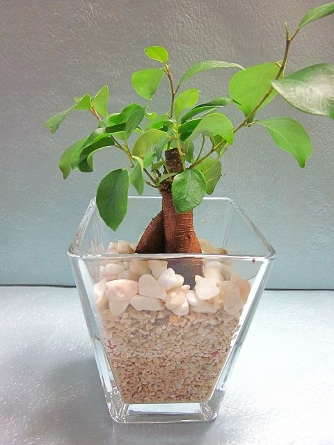 1980 スクエア 9.5パイ サンゴ砂 ガジュマル ハイドロカルチャー 水耕栽培 観葉植物 [サイズ(鉢含む)] 幅:約10cm~15cm 高さ:約20cm~30cm 鉢サイズ 高さ 約11.5cm 横 約9.5cm