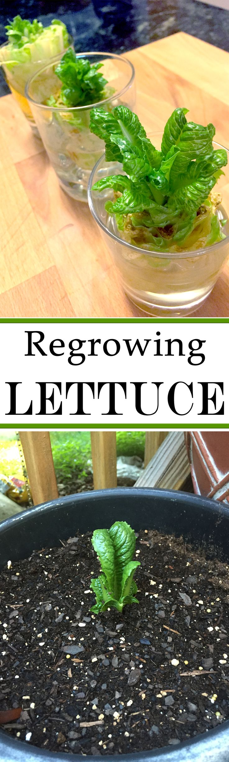 Regrow your romaine lettuce from the stub.