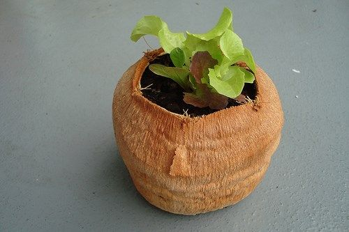 Coconut shell as a pot for your plant best out of waste for Best out of waste garden ideas