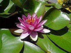 Lumpeet, Lotus, Lootus