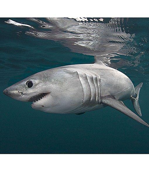 Atlantic ocean sharks