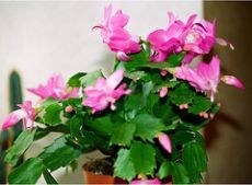 Декабрист цветок, уход и выращивание