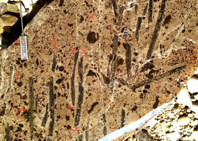 A slab of rock from a study site in Nevada harbors many specimens of Metabolograptus extraordinarius, a shallow-water graptolite species, which together with some close relatives, replaced all the formerly dominant species following the end-Ordovician mass extinction. Credit: Charles E. Mitchell