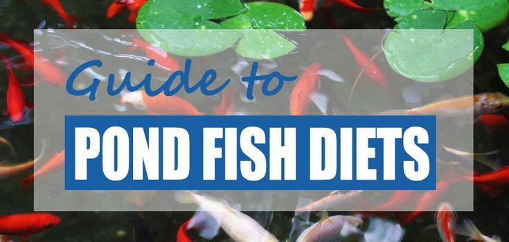 What do pond fish eat naturally? What can you feed koi and
