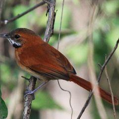 Quase 100 espécies de pássaros correm risco d e extinção na Amazônia Pássaro joão-de-barba-grisalha (Synallaxis kollari)