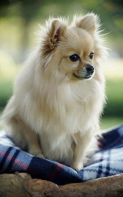 Beautiful Pomeranian !!!