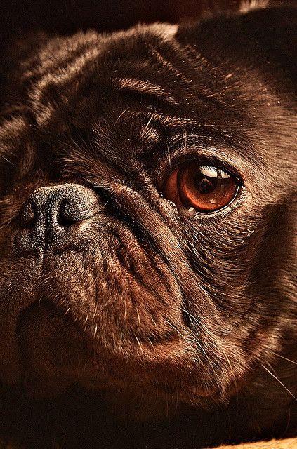 Head shot of a pug. Nice photograph.  #puppied