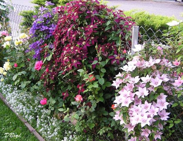 maybe i should plant a bunch of clematis on the back fence.  can i get ones that bloom at different times?