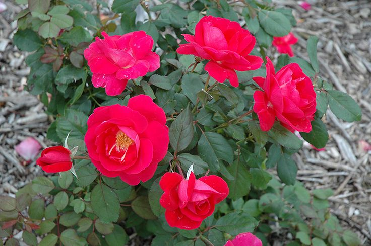Winnipeg Parks Rose (Rosa 'Winnipeg Parks') at Salisbury Greenhouse and Landscaping