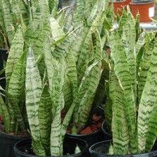 Tanaman Sansevieria Zeylanica