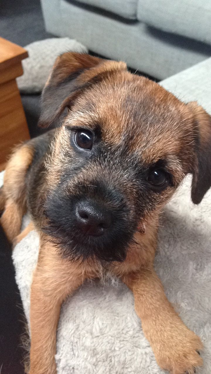 Border Terrier Puppy With Images Border Terrier Puppy