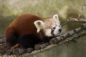Red_Panda ΤοΚόκκινο πάντα(Ailurus fulgens) είναι ένα μικρό δενδρόβιο θηλαστικό που ζει στα ανατολικά Ιμαλάια και στη νοτιοδυτική Κίνα. Ο άγριος πληθυσμός του εκτιμάται σε λιγότερο από 10.000 ώριμα άτομα. Ο πληθυσμός συνεχίζει να μειώνεται και απειλείται προς εξαφάνιση από την λαθροθηρία, για αυτό τον λόγο τα κόκκινα πάντα προστατεύονται από την εθνική νομοθεσία. Το κόκκινο πάντα είναι μεγαλύτερο από μια γάτα.  ΠεριγραφήΕπεξεργασία  Το κεφάλι και το σώμα τους έχουν μήκος 50-64 εκ ,και η…
