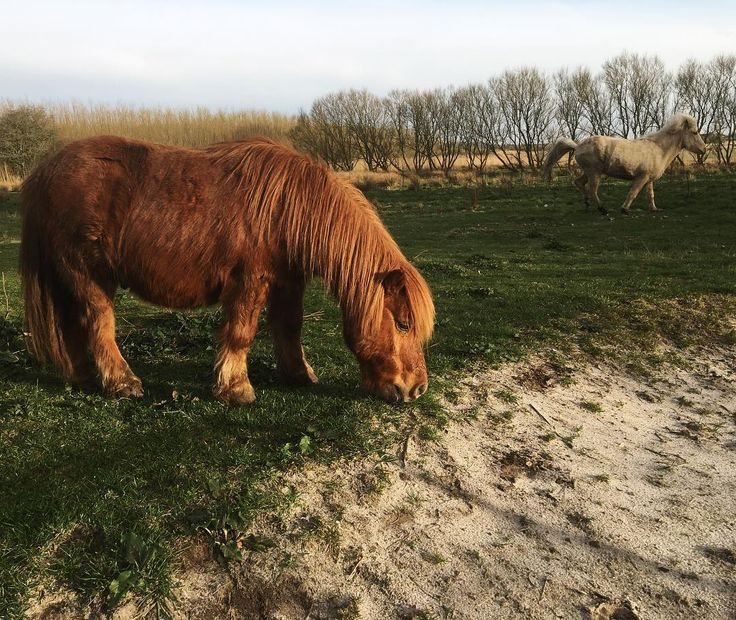 Time fo the #horse to be let out on the #grassfields. #needexercise  #shetlandspony #icelandichorse