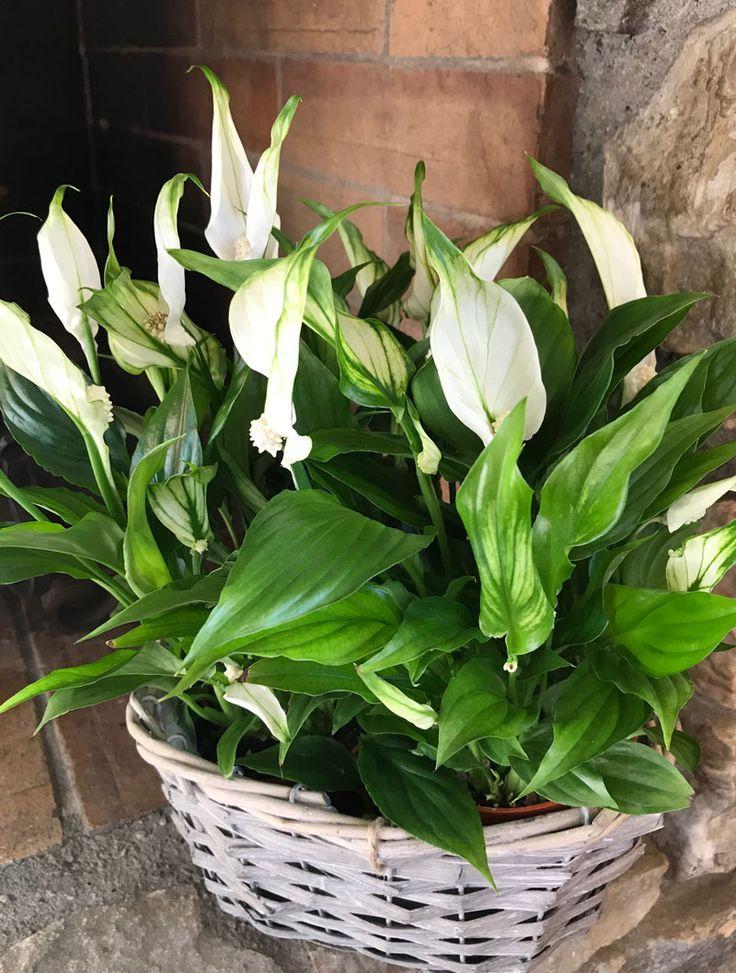 Pflanzen im Haus! Dekoration und natürliche Klimaanlage!