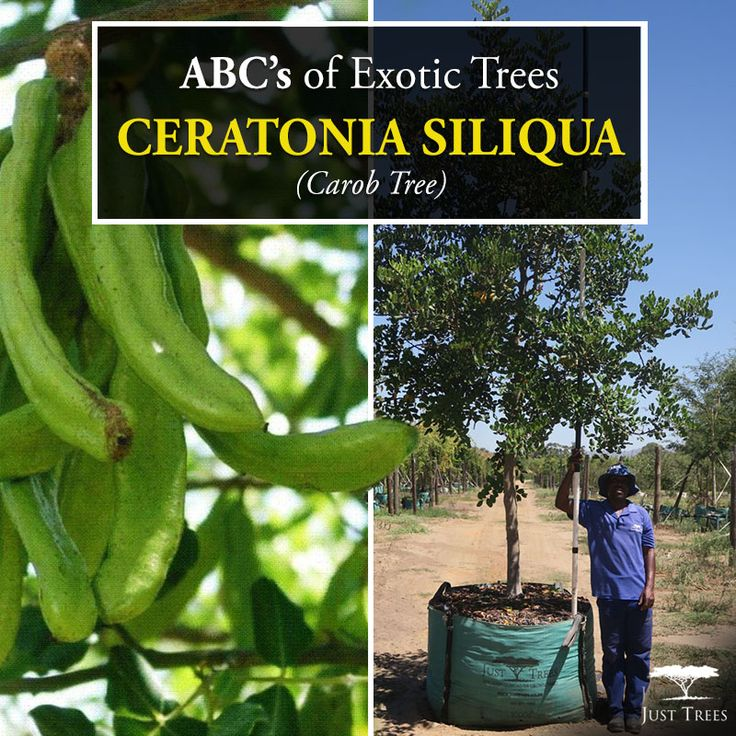 ABC's of Exotic Trees continue with the Ceratonia siliqua or Carob Tree. This evergreen originally comes from the Mediterranean region and can reach up to 15m. The hardy, drought-tolerant Carob should be planted in sunny positions and requires well-drained soil. Most commonly known for its delicious and nutrious fruit, the Carob tree also forms part of the pea family! We currently stock 400L & 1000L...