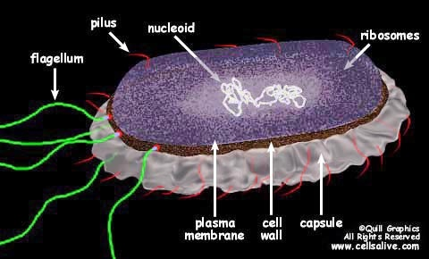 Bacterial Cell  Structure animation