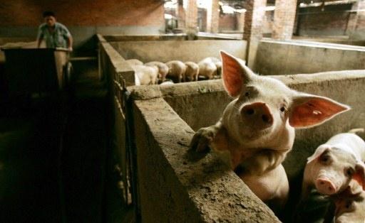La Chine fait appel au savoir-faire français dans l'élevage porcin