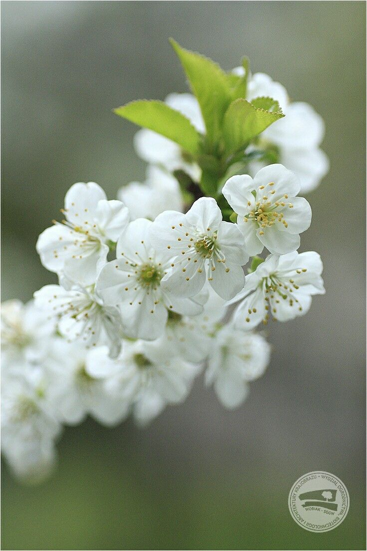 #kwiaty wiśni #PrunusCerasus #różowate #wiśnia #sadownictwo #sad #zapylacz #ogrodnictwo #makro #WOBiAK #SGGW 🌸🌸🌸 #cherry #flowers #Prunus Cerasus #rosaceae #fruitgrowing #orchard #pollinator #horticulture #macro #macrophotography #WULS
