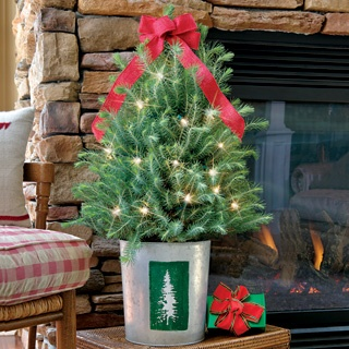 Natural Beauty Italian Stone Pine Christmas Tree - Live ...