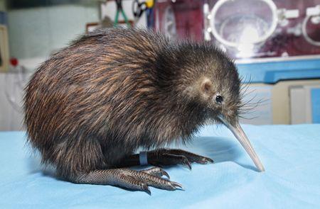 Kiwi Chick - Puddles