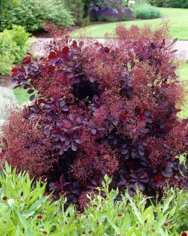 Скумпия кожевенная Royal Purple.Компактный широкоовальный кустарник, высотой до 1,5 м, диаметром кроны – 1,5 м. Листья обратнояйцевидные, темно-багрово-красные. Цветки мелкие розоватые, в метельчатых ажурных соцветиях, цветение в июне, во время плодоношения плодоножки удлиняется и покрываются длинными красноватыми волосками. Зона зимостойкости: 5 (-29 °С).