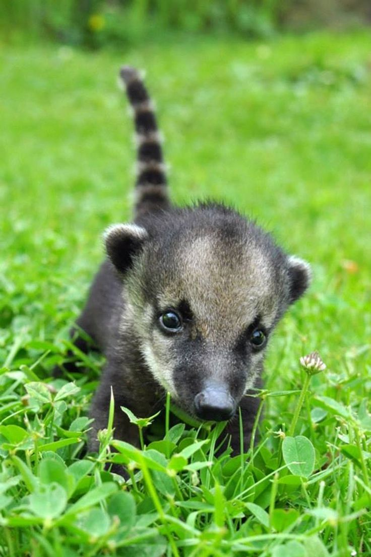 Baby coatimundi just wants to play.   The 40 Most Adorable Baby Animal Photographs Of 2013