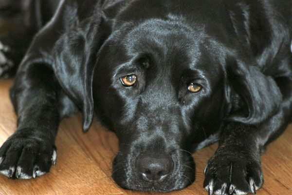 5 Home Remedies to Cure Kennel Cough - It's like the common cold for canines, but it's easy to combat.