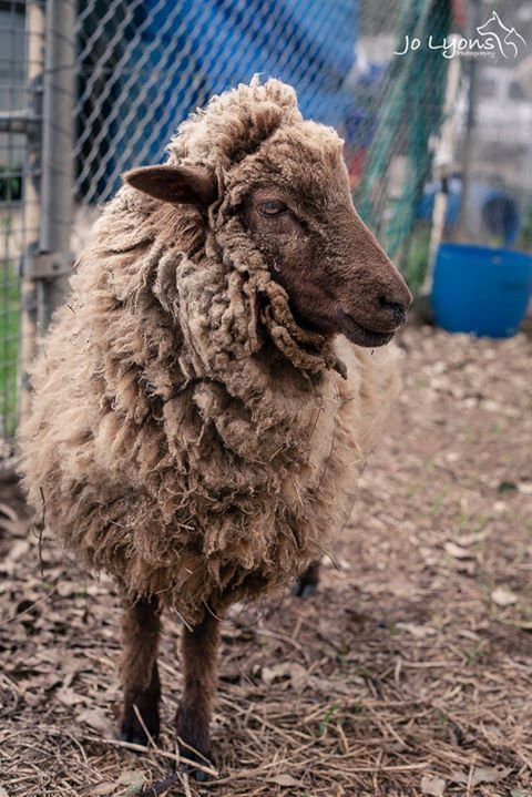 The dainty feet below belong to a very friendly, but sadly very, very neglected sheep. This boy has a limp at the moment but a little birdy tells me that he may be going to a great rescue group... fingers and toes crossed that he does as he has surely bee | by Jo Lyons Photography
