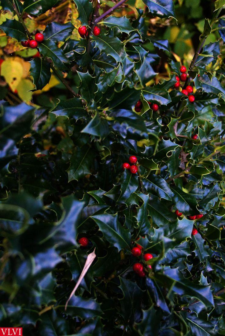 22-11 | De tuin raakt verder in rust en verval. En struiken die er het hele jaar opvallend onopvallend hebben gestaan, beleven nu hun finest moment. Zoals de Hulst (Ilex). Met z'n prikkende stijve blad was het nooit mijn favoriet, maar sinds ik hem veelvuldig in de Méditerranée heb gespot, denk ik daar ineens anders over. Het is toch de enige groenblijvende loofboom die van nature in de Lage landen voorkomt. En nu de rest van de struiken hun kleur verliezen, is 't net of hij steeds harder…