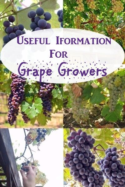 Info For Grape Growers - Here you will find a couple of links to sites with good solid information about how to grow grapes.