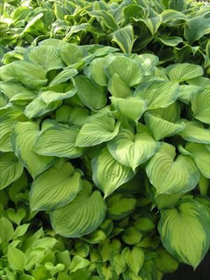 "#hosta 'Guacamole' has HUGE , glossy, apple green leaves are surrounded by streaked, dark green leaf margins just like an avocado.  The leaf centers become brighter gold in summer and when exposed to more sunlight while the margins remain dark green.  Very fragrant, flared, pale lavender flowers appear on 36"" scapes in late summer.  A rapid grower that displays good sun tolerance.  $240 / 20 plants"