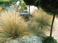 The repeated plants and geometric shapes of this Australian garden show the graphic qualities of the Modernist design. Plants suited for the climate are used like dryland tea trees clipped into lollipops and tufty ornamental grasses.
