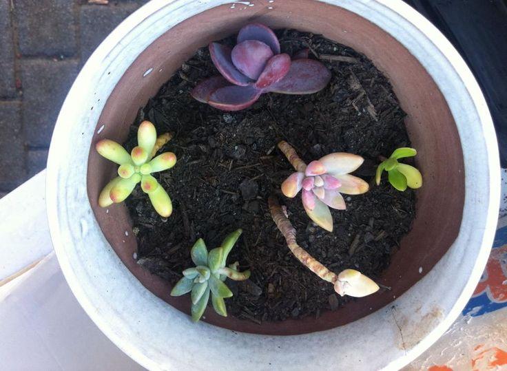 coloured succulents