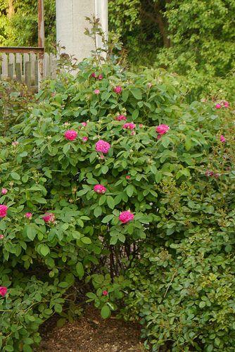 Rose de Resht,