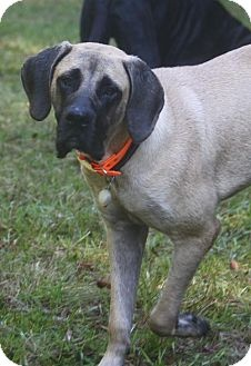 Cam - ADOPTED through Great Plains Mastiff Rescue