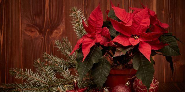 Cura Della Stella Di Natale.Come Prendersi Cura Della Stella Di Natale Fatto In Casa Da
