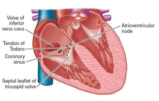Triangle of Koch, at the apex of which lies the atrioventricular node.